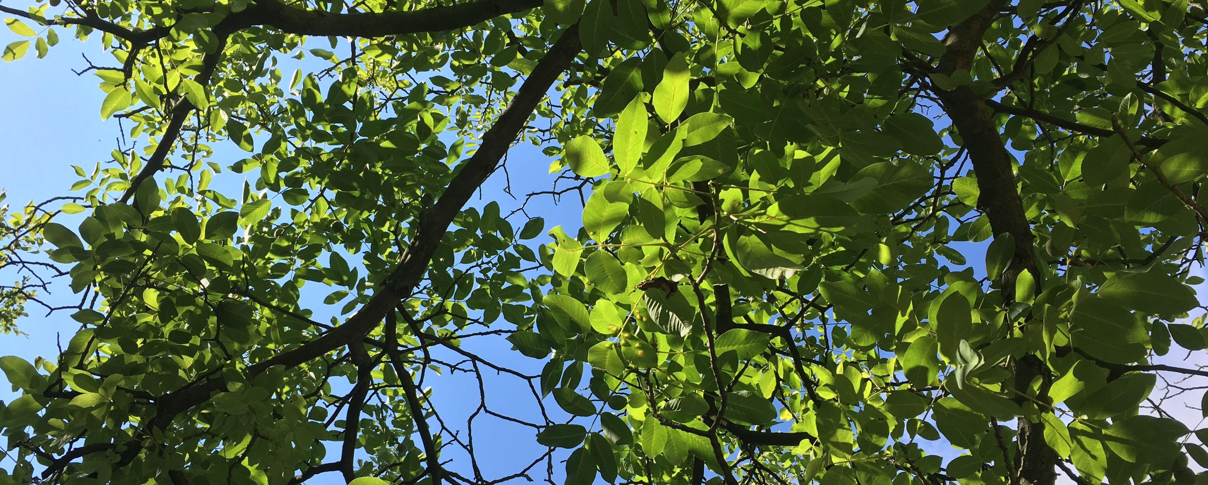 Das Bild zeigt ein Blätterdach.